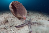 Starfish Hunting a Scallop Photographic Print by Angel Fitor