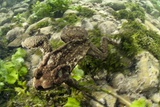 Common Toad Photographic Print by Angel Fitor