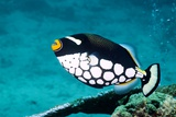 Clown Triggerfish Photographic Print by Georgette Douwma
