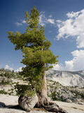 Western White Pine (Pinus Monticola) Prints by Bob Gibbons