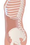 Transversus Abdominis Muscle, Artwork Posters by Peter Gardiner