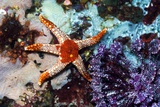Necklace Starfish And Crinoid Posters by Georgette Douwma