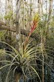 Bromeliad (Tillandsia Fasciculata) Posters by Bob Gibbons