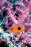 Red Saddleback Anemonefish Photographic Print by Georgette Douwma