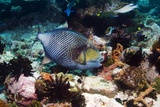 Titan Triggerfish Photographic Print by Georgette Douwma