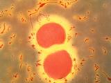 Neisseria Meningitidis Bacteria Photographic Print by A. Dowsett