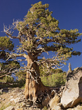 Western Juniper (Juniperus Occidentalis) Photographic Print by Bob Gibbons