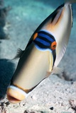 Arabian Picasso Triggerfish Photographic Print by Georgette Douwma