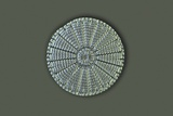 Diatom, Light Micrograph Prints by Frank Fox