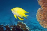 Golden Damselfish And Cleaner Wrasse Photographic Print by Georgette Douwma