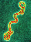 Ebola Virus Photographic Print by A. Dowsett