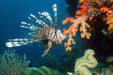 Lionfish Prints by Georgette Douwma
