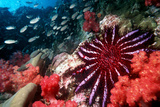 Crown-of-thorns Starfish Photographic Print by Georgette Douwma