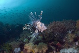 Red Lionfish Hunting Over a Reef Photographic Print by Georgette Douwma