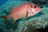 Giant Squirrelfish Photographic Print by Georgette Douwma