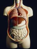 Model of Human Torso Showing Internal Organs Photographic Print by Martin Dohrn