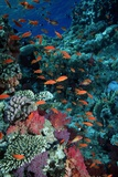 Lyretail Anthias And Soft Corals Photographic Print by Georgette Douwma