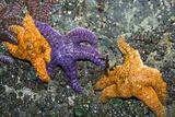 Ochre Sea Stars Prints by Georgette Douwma