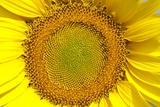 Sunflower Photographic Print by Angel Fitor