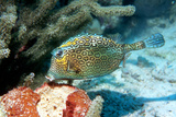 Honeycomb Cowfish Posters by Georgette Douwma