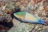 Tricolor Parrotfish Posters by Georgette Douwma