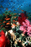 Lyretail Anthias And Soft Corals Posters by Georgette Douwma