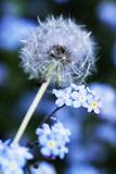 Tête et graines de pissenlit Reproduction photographique par Georgette Douwma