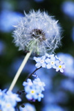 Dandelion Seed Head Photographic Print by Georgette Douwma