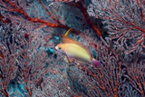 Lyretail Anthias And Coral Photographic Print by Georgette Douwma