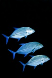 Bluefin Trevally Fish Prints by Georgette Douwma