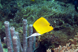 Long-nosed Butterflyfish Photographic Print by Georgette Douwma