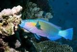 Rusty Parrotfish Photographic Print by Georgette Douwma