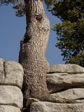 Western White Pine (Pinus Monticola) Print by Bob Gibbons