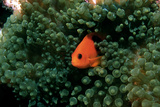 Red Saddleback Anemonefish Posters by Georgette Douwma