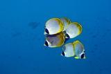 Panda Butterflyfish Reproduction photographique par Georgette Douwma