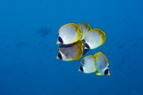 Panda Butterflyfish Photographic Print by Georgette Douwma