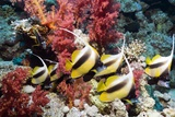 Red Sea Bannerfish Photographic Print by Georgette Douwma