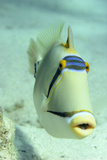 Picasso Triggerfish Photo by Georgette Douwma