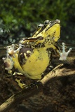 Harlequin Toads Mating Photographic Print by Angel Fitor