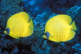 Bluecheek Butterflyfish Photographic Print by Georgette Douwma