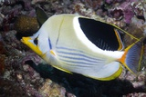 Saddled Butterflyfish on a Reef Photographic Print by Georgette Douwma