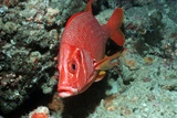 Giant Squirrelfish Posters by Georgette Douwma