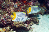 Cross-hatch Butterflyfish Photographic Print by Georgette Douwma