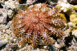 Crown of Thorns Starfish Photographic Print by Georgette Douwma