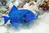Blue Triggerfish Photographic Print by Georgette Douwma