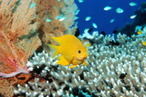 Golden Damselfish Posters by Georgette Douwma
