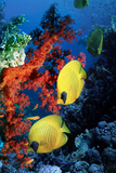 Golden Butterflyfish Photographic Print by Georgette Douwma