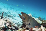 Giant Moray Eel And Cleaner Wrasse Photographic Print by Georgette Douwma