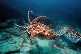 Pharaoh Cuttlefish Photo by Georgette Douwma