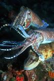 Pharaoh Cuttlefish Prints by Georgette Douwma